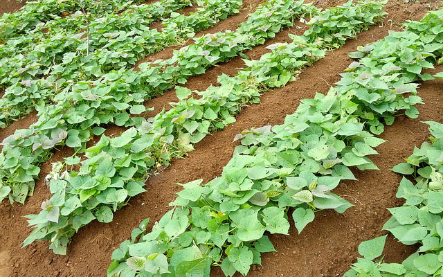 Kiat budidaya ubi jalar secara organik