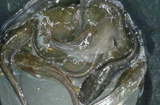 beternak ikan nila
