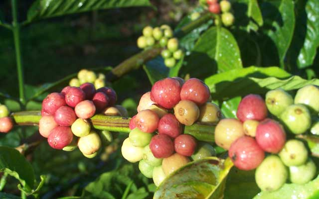Cara memanen buah kopi