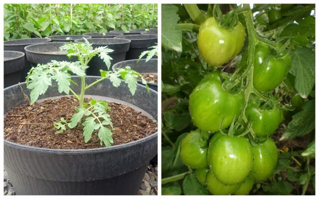 Cara Menanam Tomat Dalam Polibag